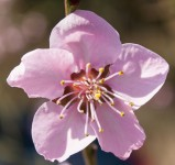 Weinbergpfirsichblume